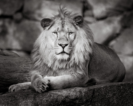 Frontal Portrait of an African Lion