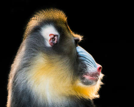 mandrill: Profile Portrait of a Backlit Male Mandrill Stock Photo