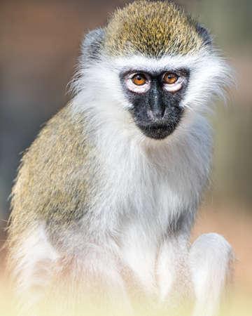 frontal portrait: Frontal Portrait of a Baby Grivet Monkey