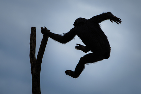 A Silhouette of a Swinging Chimpanzee