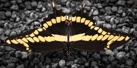 sunning: Sunning Black Swallowtail