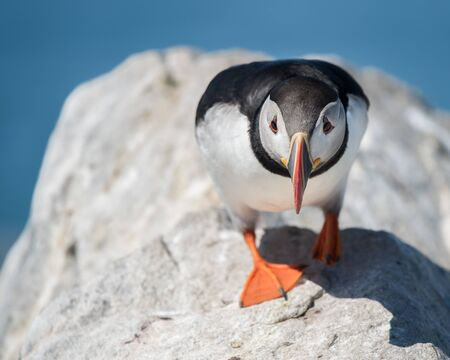 puffin: Frontal Portrait of a Atlantic Puffin with a Shadow