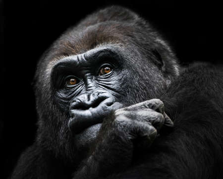 western lowland gorilla: Frontal Portrait of a Western Lowland Gorilla