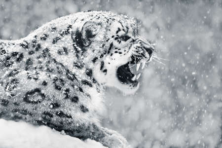 snow leopard: Profile Portrait of Snarling Snow Leopard in Snow Storm Stock Photo