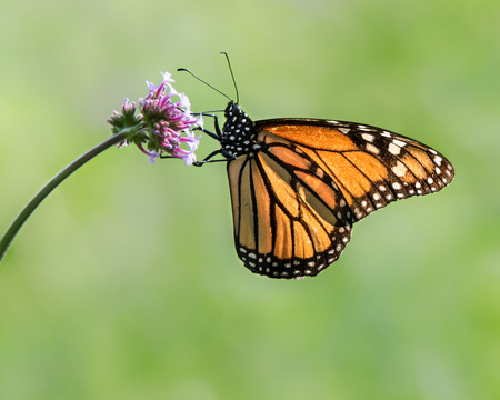 Profile Portrait of a Monarch Butterfly Perching on a Verbena Flower Imagens