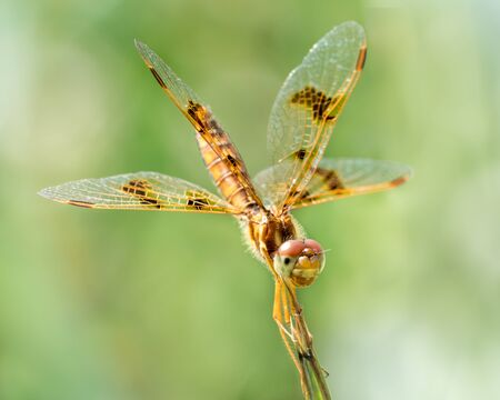 whitetail: 34 Portrait of a Common Whitetail Dragonfly Perched on a Leaf Stock Photo