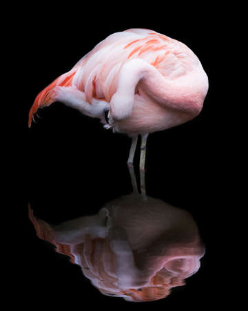 chilean: Chilean Flamingo Standing in Water With a Reflection