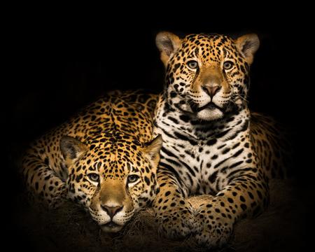 Frontal Portrait of Jaguar Pair