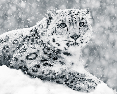 snow leopard: Frontal Portrait of Snow Leopard in Snow Storm Stock Photo
