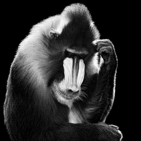 mandrill: Backlit Male Mandrill Against a Black Background