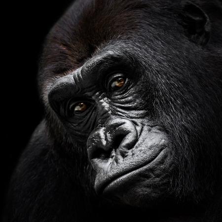 lowland: Frontal Portrait of a Western Lowland Gorilla