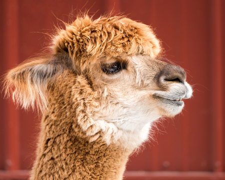 hoofed animals: A Profile Portrait of an Alpaca Against a Red Background