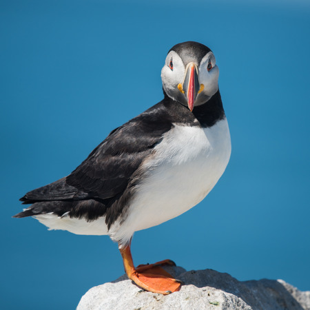 frontal portrait: A Frontal Portrait of an Atlantic Puffin Against a Blue Background