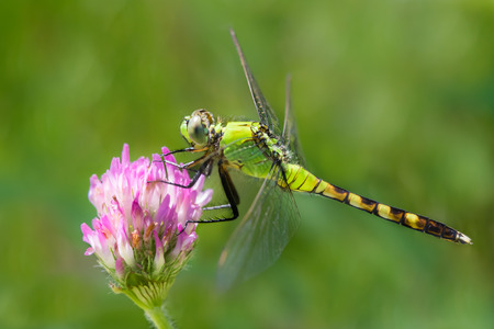 pondhawk: A Profile Portrait of a Perching Eastern Pondhawk Dragonfly