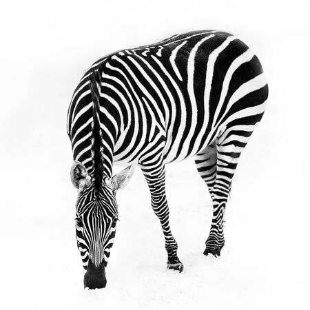 grants: A Grants zebra grazing in the snow