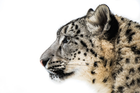 snow leopard: Profile Portrait of Snow Leopard in Snow Stock Photo