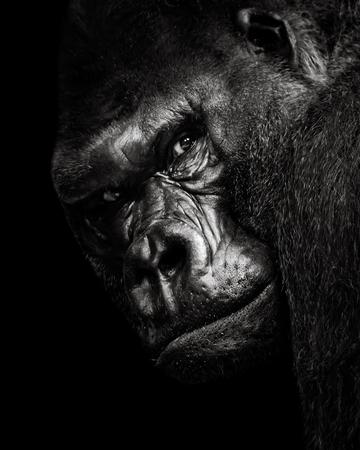 lowland: A 34 Portrait of a Western Lowland Gorilla