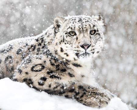 雪の嵐の雪ヒョウの正面肖像画