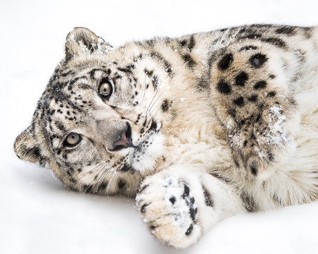 Playful Snow Leopard Rolling in the Snow