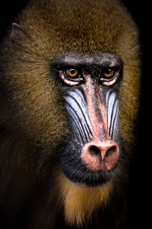 34: A 34 Portrait of a Male Mandrill