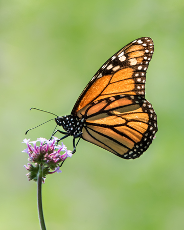 Profile Portrait of a Monarch Butterfly Perching on a Verbena Flower Stock Photo