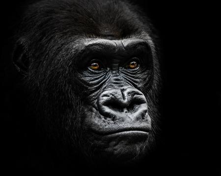 lowland: 34 Portrait of a Western Lowland Gorilla Stock Photo