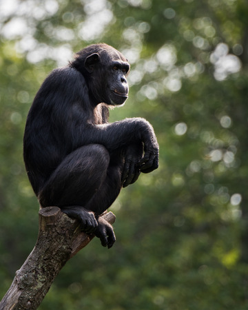 A Profile Portrait of a Chimpanzee Sitting in a Tree