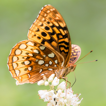 aphrodite: Aphrodite Fritillary Perched on a White Flower