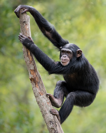 A Young Female Chimpanzee Climbing a Tree