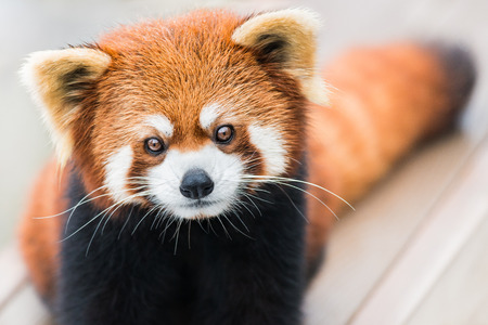 frontal portrait: A frontal portrait of a Red Panda
