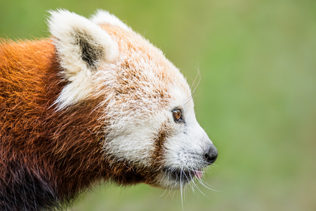 bearcat: Profile Portrait of a Red Panda Against a Green Background Stock Photo