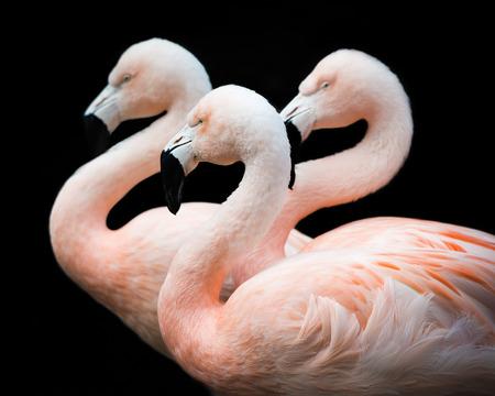 chilean: Chilean Flamingo trio against a black background