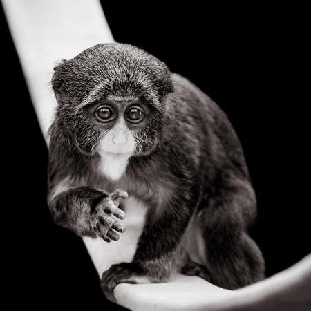 frontal portrait: A Frontal Portrait of a Baby De Brazzas Monkey Against a Black Background Stock Photo