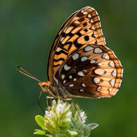 afrodita: Retrato de perfil de una Mariposa del Aphrodite
