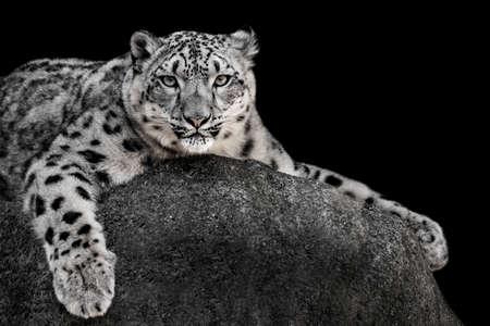 frontal portrait: Frontal Portrait of a Snow Leopard Against a Black Background
