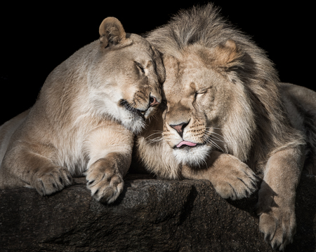 Frontal Portrait of Two Lion Siblings Sleeping and Cuddling Together