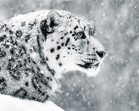 Profile Portrait of a Snow Leopard in a Snow Storm Against a Mottled Gray Background Reklamní fotografie