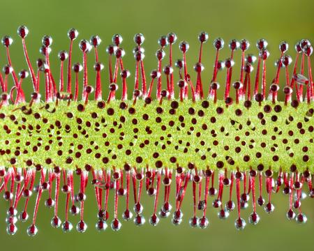 Extreme Closeup Macro of a Sundew Plant