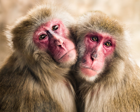frontal portrait: Frontal Portrait of a Japanese Macaque Pair Hugging Each Other Stock Photo