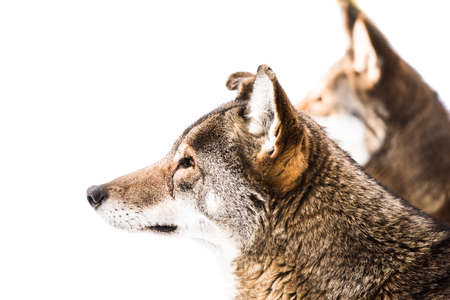 wolf couple: Profile Portrait of a Red Wolf Pair in Snow