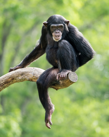 frontal portrait: Frontal Portrait of a Young Chimpanzee Relaxing on a Tree Branch
