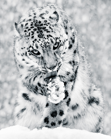 frontal portrait: Frontal Portrait of a Snow Leopard in a Snow Storm Licking Its Paw Against a Mottled Gray Background