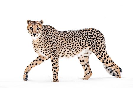 Cheetah Making Eye Contact While Walking in Snow