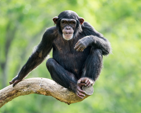 Frontal Portrait of a Young Chimpanzee Relaxing on a Tree Branch