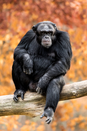 frontal portrait: Frontal Portrait of a Young Chimpanzee Sitting in a Tree Branch Against a Background of Colorful Fall Leaves