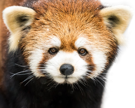 bearcat: Frontal Portrait of a Red Panda Against a White Background