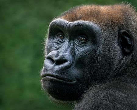 34 Portrait of a Western Lowland Gorilla Against a Green Background