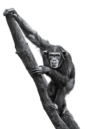frontal portrait: Frontal Portrait of a Young Female Chimpanzee on a Tree Branch Against a White Background