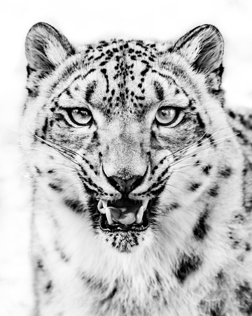 snarling: Frontal Portrait of a Snarling Snow Leopard in Black and White Stock Photo