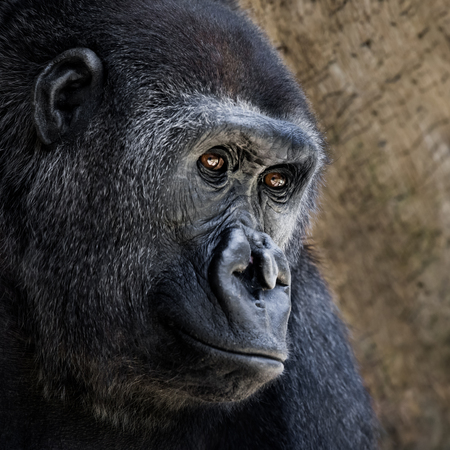 lowland: 34 Portrait of a Western Lowland Gorilla Against a Tan Background Stock Photo